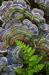 Turkey tail bracket fungus