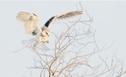 Ethereal White-Tailed Kite