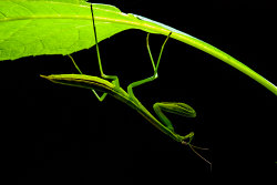 mantis in the moonlight