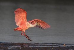 Leaping Spoonbill