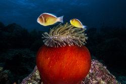 A sea anemone and clown fish