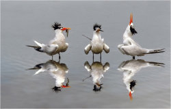 Terns singing The Happy Fish Dance